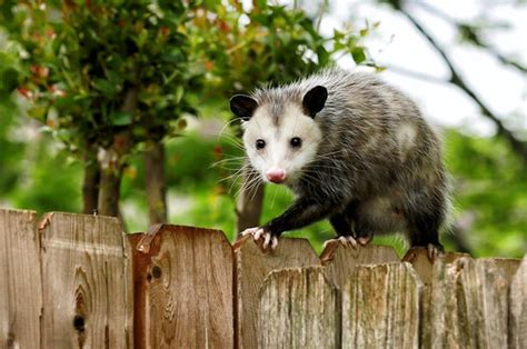 Possum Backyard by How To Get Rid Of Possums In Your Yard House In 48 Hours