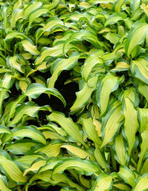 hosta  mate plantain lily