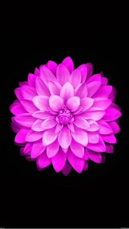 Flower Iphone Ios Apple Lotus Flowers Wallpapers