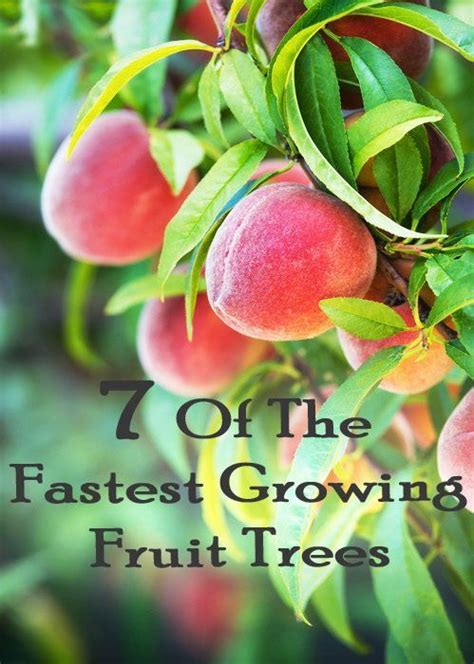 buy fruit trees ideas  pinterest growing