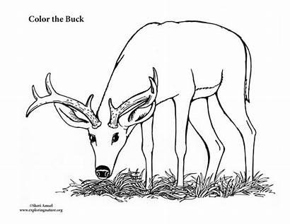 Deer Buck Pages Coloring Monster Printable Male