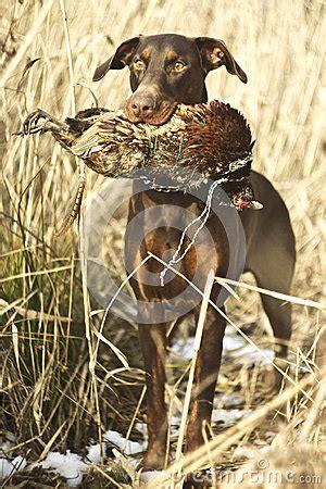 sch und schmalöer sch 228 ferhund und brauner dobermann pinscher stockbild bild 40460465