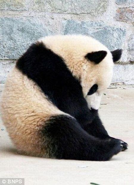 funny panda  sharenatorcom