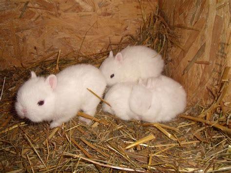les lapins nains de la michaille