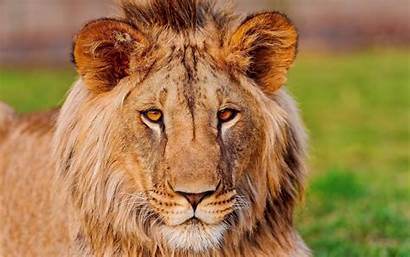 Lion Lions Ultra Wallpaperaccess Clip Wallpapers Face
