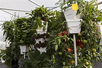Hydroponic Tower System Ifas Vegetable Production Agriculture