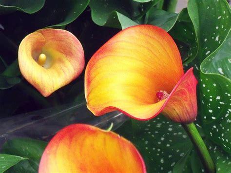 Calla Pflanzen Pflege by Zimmercalla Calla Zantedeschia Pflege Vermehrung