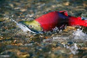 Salmon Animal Stock Photos and Pictures | Getty Images