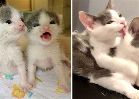 ลูกแมวฝาแฝดตัวติดกันตลอดเวลา ตั้งแต่แรกเกิดจนกระทั่งย้ายไป ...