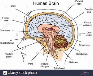 Structure of human brain illustration Stock Photo ...