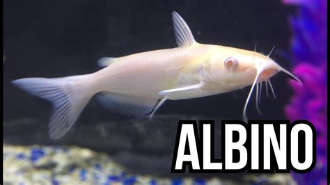 albino channel catfish youtube