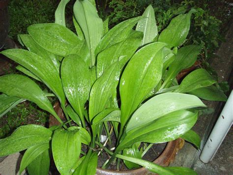 mahalab tropical bulb plants lat s gardening