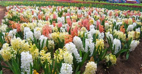 how to plant and grow hyacinths the garden of eaden