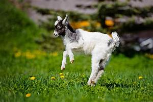 Adorable Goat Kid Jumping Outdoors Stock Image - Image of ...