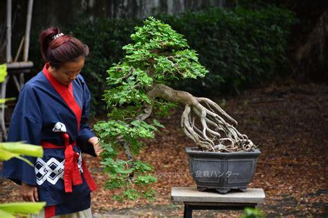 Bonsai ID 461 : บอนไซมะขาม - บอนไซ บอนไซญี่ปุ่น
