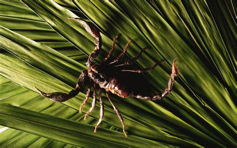 Scorpion Animal Wallpaper - wallpaper scorpion predator arthropoda chela sting