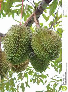 Tropical Fruit Durian On The Tree. Stock Photo - Image ...