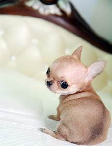 tiny teacup chihuahua puppies for sale | Zoe Fans Blog ...