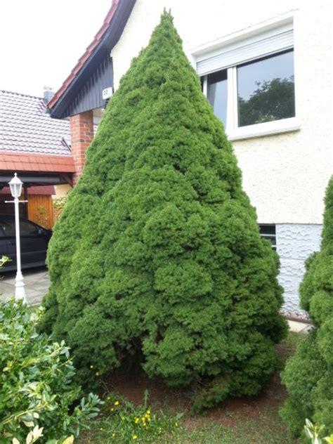 zuckertanne tanne weihnachtsbaum in dallgow pflanzen