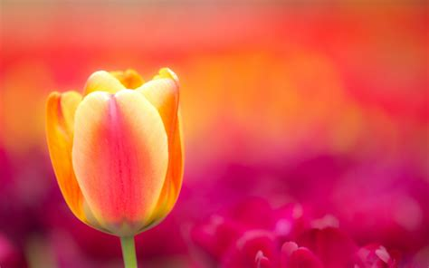 tulips background wallpaper  images