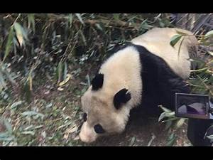 """Rescued Wild Giant Panda """"Wolong II"""" Released Back Into ..."""