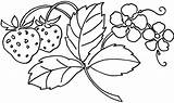 Coloring Pages Berries Fruit sketch template