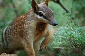 Numbat | The Biggest Animals Kingdom