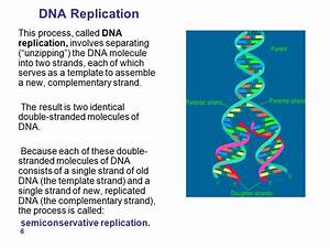 molecular genetics in eukaryotes chromosomes bear the With semiconservative replication involves a template what is the template