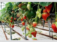 Luscious strawberries now produced in Siberia during winter