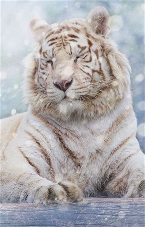 The Biggest Beautiful Golden Tiger White Lion