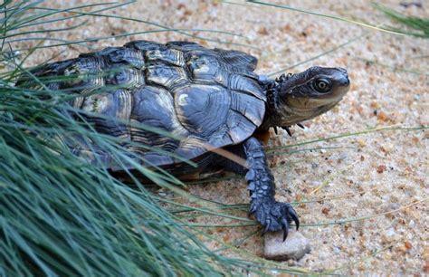 wild   western swamp tortoises zoos sa