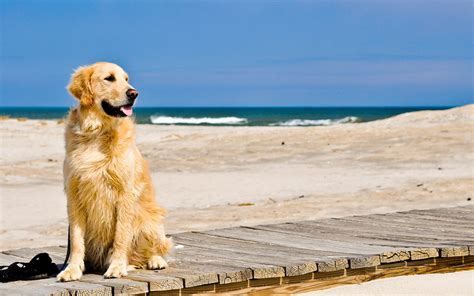 Wallpaper Golden by Golden Retriever Temperament Exercise And Pictures