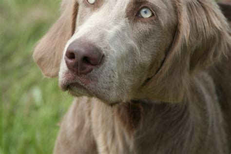 Do Haired Weimaraners Shed by Haired Weimaraners For Sale With Interesting Facts