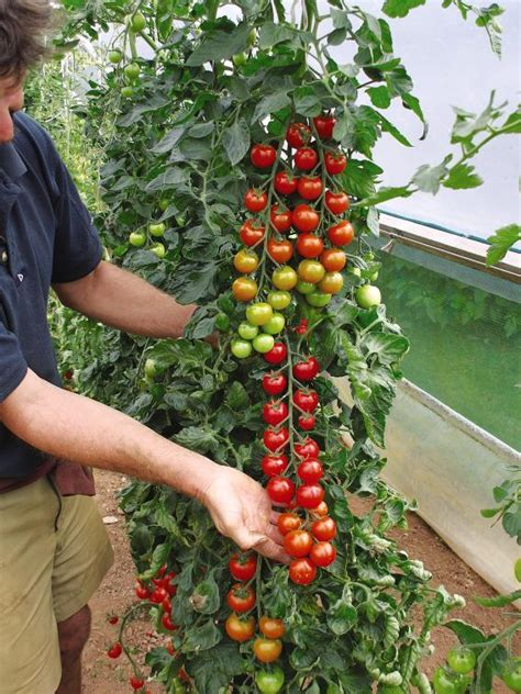 tomato plant care taking care of grafted tomato plants suttons gardening grow how