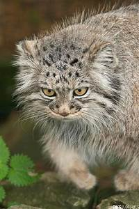 486 best Felidae 15: Manul or Pallas Cat (Otocolobus manul ...