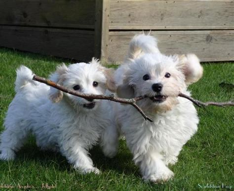Do Cavachons Shed by Cavachons