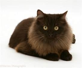 chocolate cat fluffy chocolate birman cross cat photo wp13512
