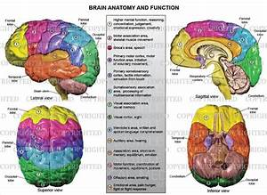 Brain Anatomy And Function  U2014 Medical Art Works