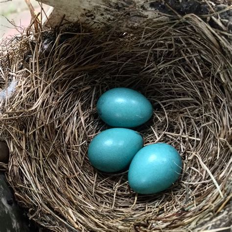 how long does it take for robin eggs to hatch eggs