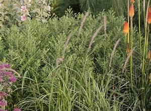 Gräser Zurückschneiden Frühjahr : federborstengras 39 tall tails 39 pennisetum orientale 39 tall ~ Lizthompson.info Haus und Dekorationen