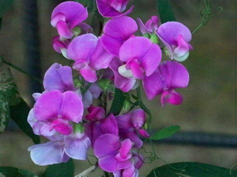 sweet pea flowers pictures pin sweet pea flowers watercolour painting tattoo on pinterest