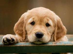 The Cutest Golden Retriever Pictures Ever