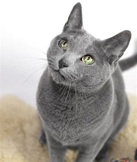 Do Russian Blue Cats Shed by Russian Blue Quot Russian Blues Actually Produce Less Of