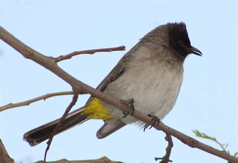 LIBERIA: The common bulbul (Pycnonotus barbatus) is a