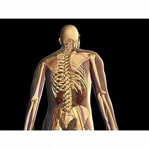 Transparent Rear View Of Human Body Showing Skeleton Kidney And Nervous System Poster Print