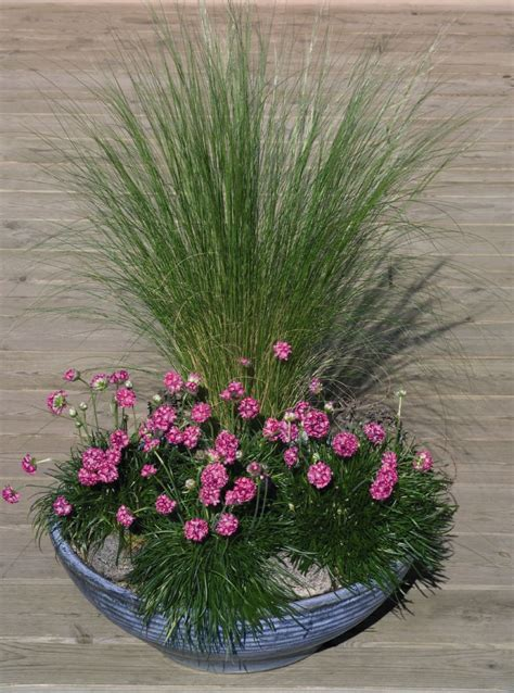 armeria maritima morning star deep rose perennial benary