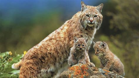 lynx mother   babies fond decran hd arriere plan