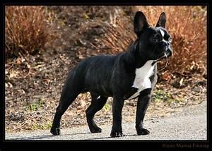 Hundebekleidung Französische Bulldogge : franz sische bulldogge bouledogue fran ais french bulldog rudolfo r de 7 monate alt ~ Frokenaadalensverden.com Haus und Dekorationen