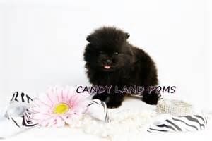 Teacup Teddy Bear Pomeranian Puppies for Sale