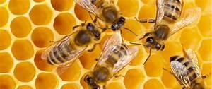 Bee Information For Kids  Bumblebee  U0026 Honey Bee Facts